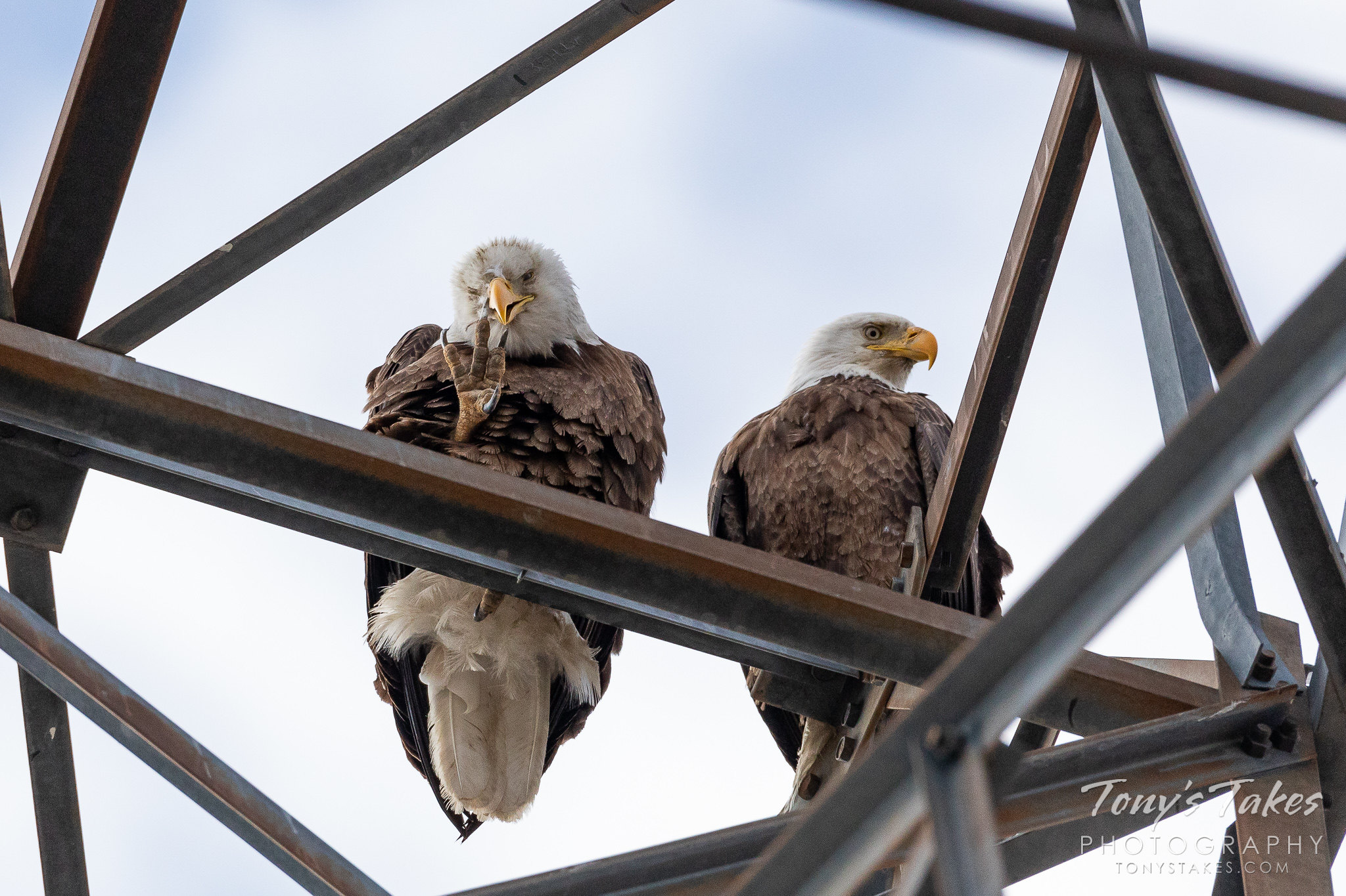 Bald eagles along the South Platte River with one scratching an itch. (© Tony's Takes)