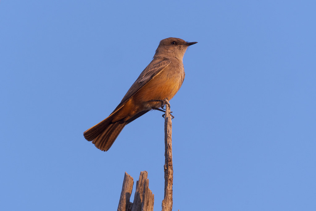 A Say's phoebe perches at the top of a saguaro skeleton near sunset at George Doc Cavalliere Park in Scottsdale, Arizona in February 2020