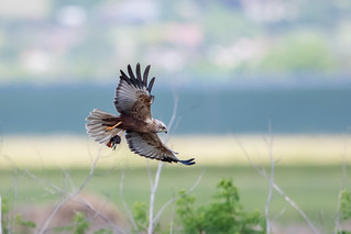 Marsh Harrier and chick
