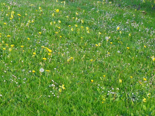 Cowslips, Dandelions & Daisies - white, puffs and yellows