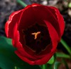 Red tulip above 1