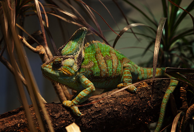 A Chameleon In Trees