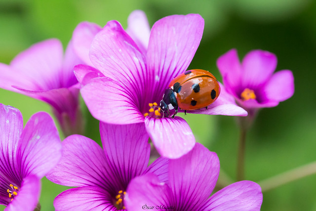 Ladybug - 1
