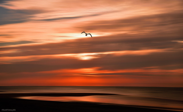 Seagull over a sunset - Gaviota sobre un atardecer