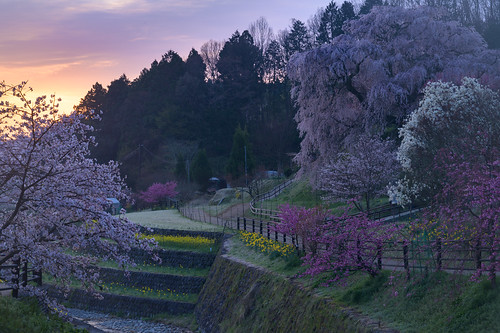宇陀市 奈良県 japan 桜 cherry 朝景 sunrise flower