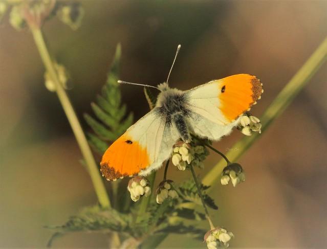 Orangetip