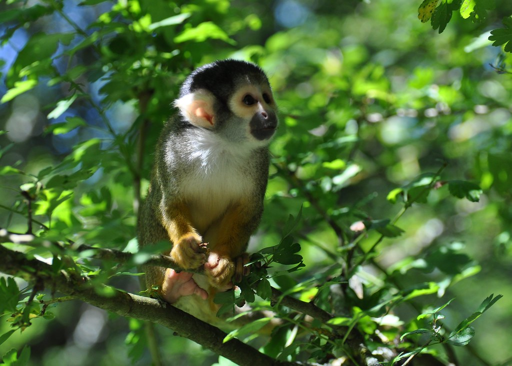 Saimiri sciureus - Common Squirrel Monkey - Saïmiri commun ou Singe-écureuil commun -22/06/18