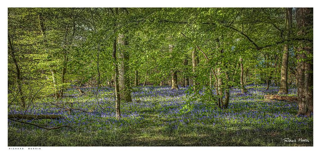 Bluebells, Olivers Shaw, Eynsford.