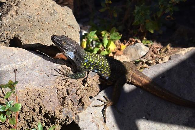 Lizard, Tenerife