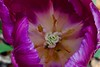 Purple tulip above 1