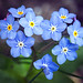 Field Forget-Me-Not - Photo (c) hedera.baltica, some rights reserved (CC BY-SA)