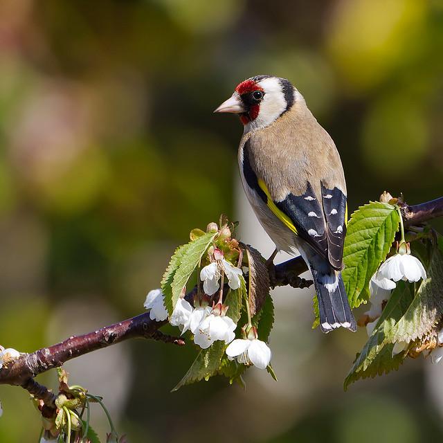 Garden Goldfinch