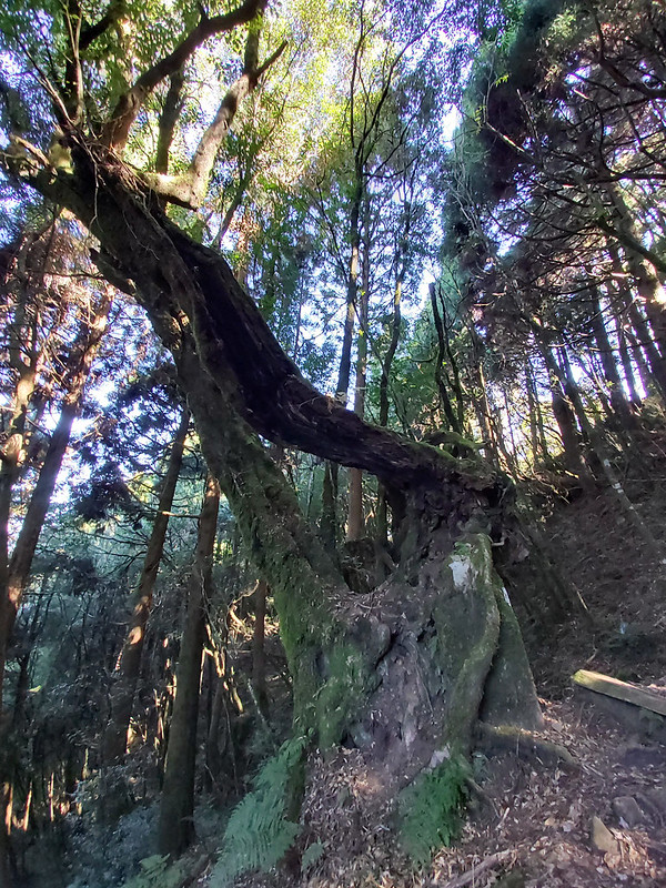 Logging used to be very popular here. Luckily, there are still many magnificent trees survived.