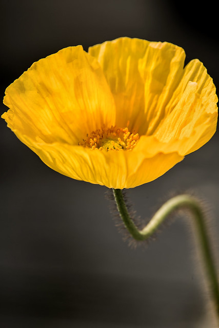 Another Yellow Spring Poppy 6-0 F LR 4-5-20 J397