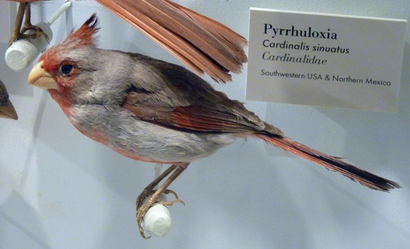 Cardinalis sinuatus 49818266232_e7a27bf713_o