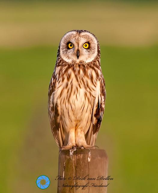 Short-eared Owl at Reidfjild near Roodkerk(FR) Netherlands - 9th of june 2014.