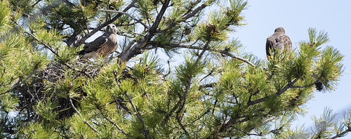swainsons_hawk_on_nest-20200425-113