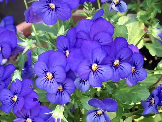 happy violas in the garden