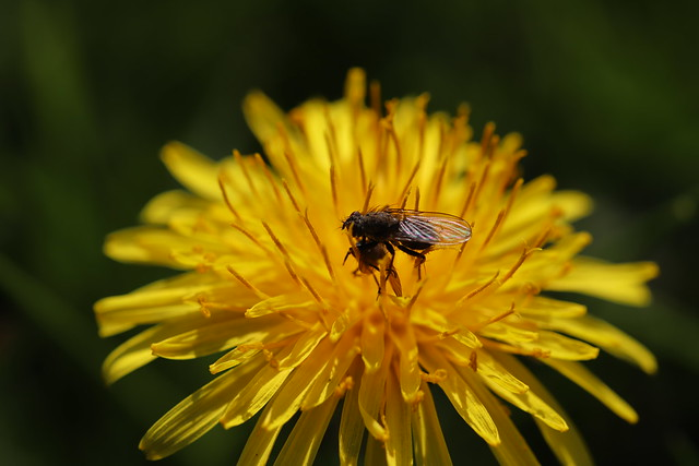 Fly on Dandelion