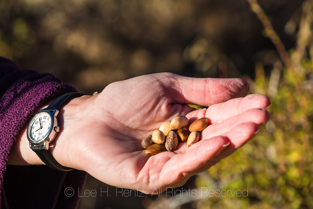 Pine Nuts from Single-leaf Pinyon in Eastern Nevada