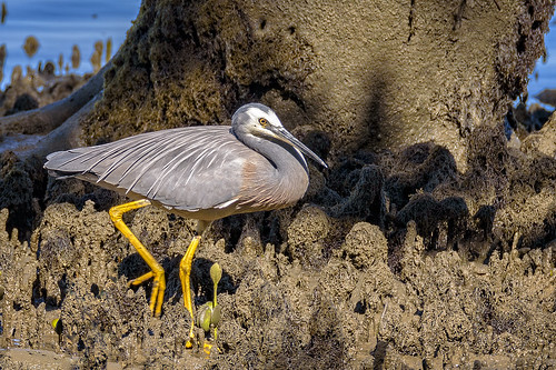 whitefacedheron egrettanovaehollandiae waterbird wader bird australianbird fauna australianfauna nature outdoors wynnummangroveboardwalk brisbane queensland australia wildlife nikond750 nikon200500mmf56eedvr