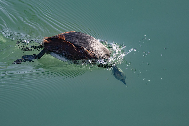 Eared Grebe Making the Next Dive