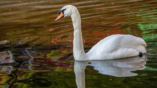 White Swan - 8350