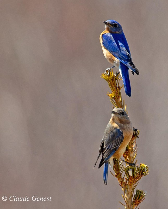 Couple de Merle bleu de l'Est  49819710972_2459c7e300_c
