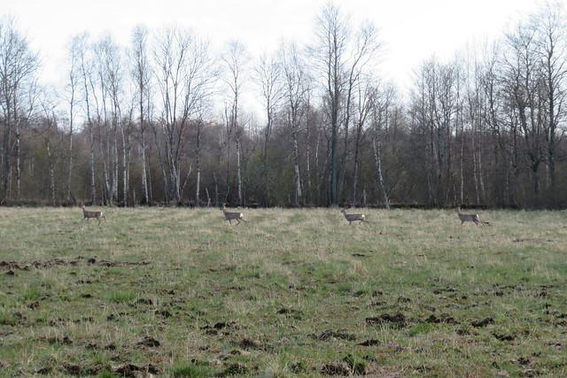 Sünkroonkitsed / Metskits / Roe deer / Capreolus capreolus