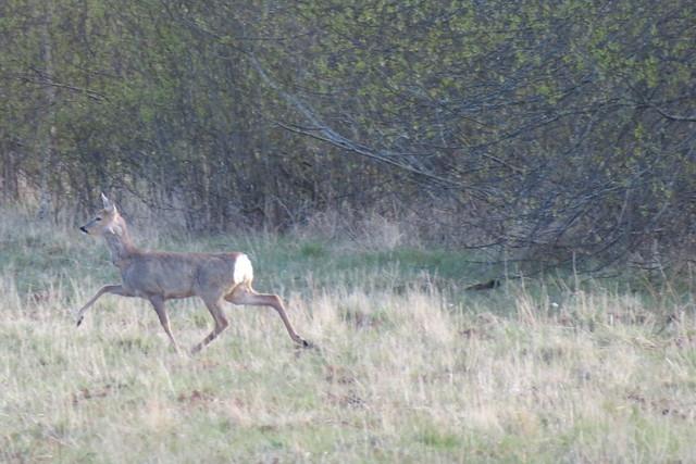 Kaber / Metskits / Roe deer / Capreolus capreolus