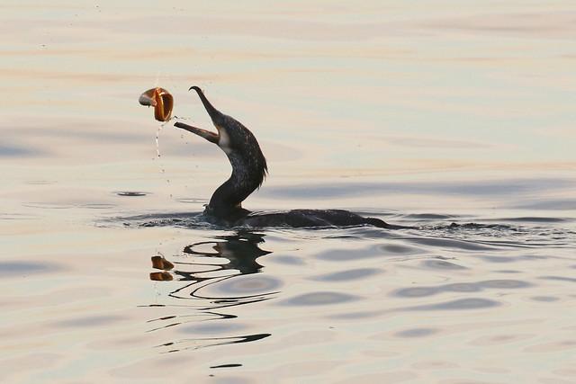 Optimistic Cormorant?
