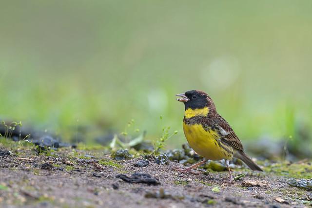 金鵐 Yellow-breasted Bunting