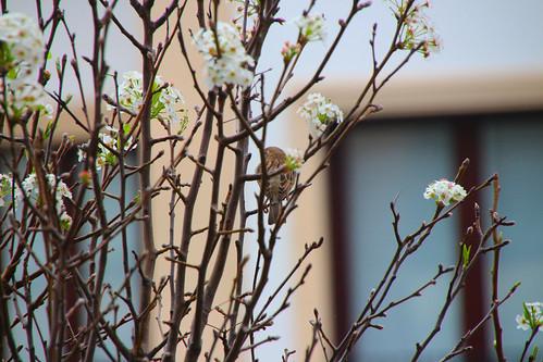 Gorrión en árbol florecido por la primavera