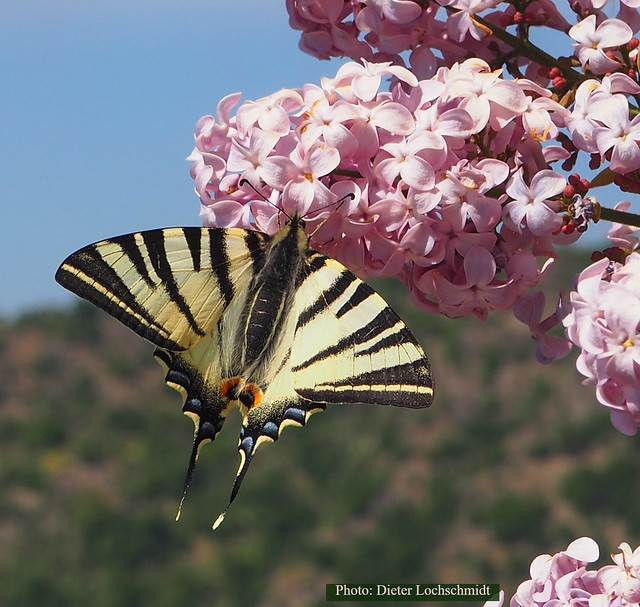 Butterfly - seen in Oberwesel on the Castle Schönburg at the River Rhine, Germany - in the Hills