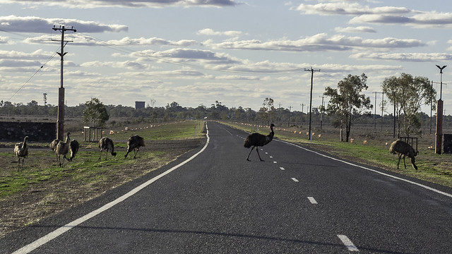 Emu's in the Wild - Outskirts of Bourke NSW - see below