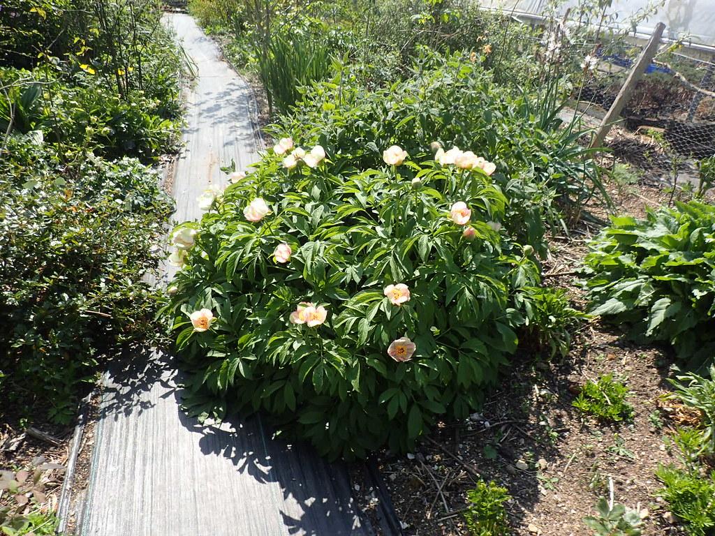 Paeonia hybrid