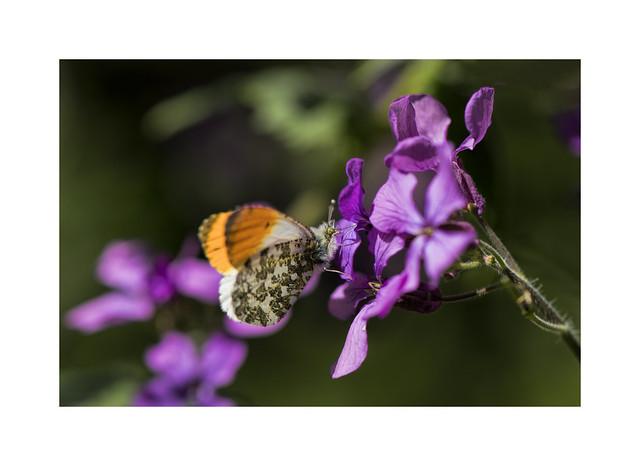 Orange Tip Butterfly on Honesty (Lunaria annua )