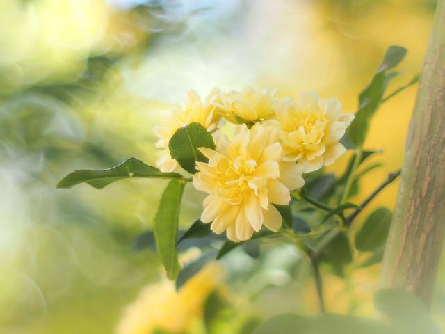 My banksia rose