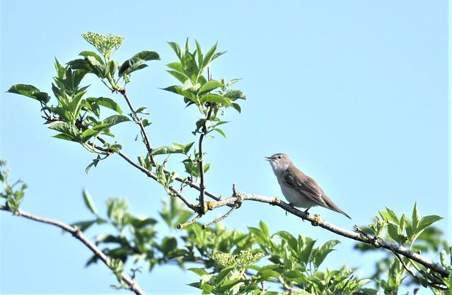 Garden Warbler (record shot)