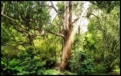 австралия australia melbourne мельбурн пейзаж landscape паровоз locomotive puffer railway железнаядорога лес forest dmilokt ins
