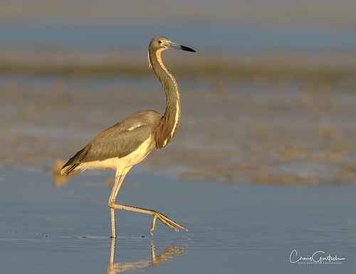 bunchebeach heron tricoloredheron bird avian nature wildlife animal nikon d500