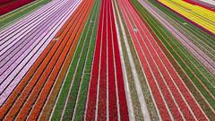 Drone shot of the tulip fields