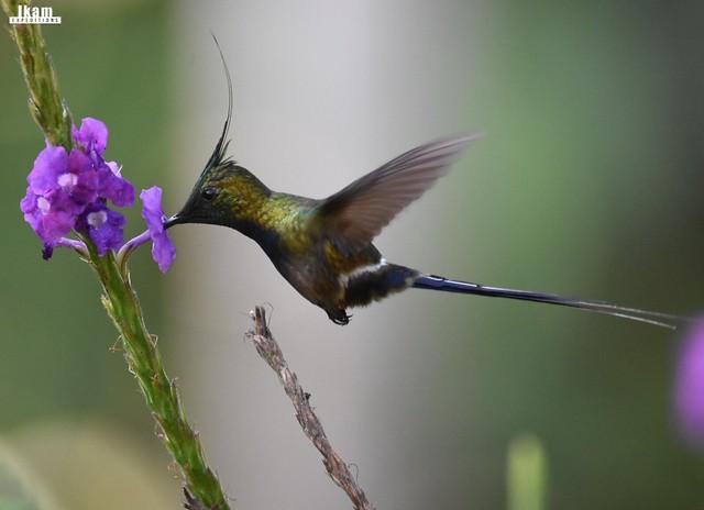 Hummingbirds of Northern Peru Birding Route
