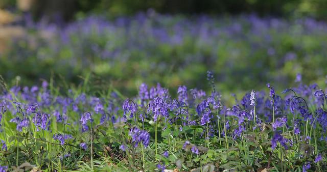 Beautiful Woodland Blues....