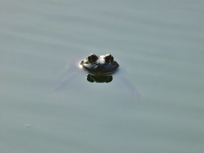 Bull frog in The Mirror Pond