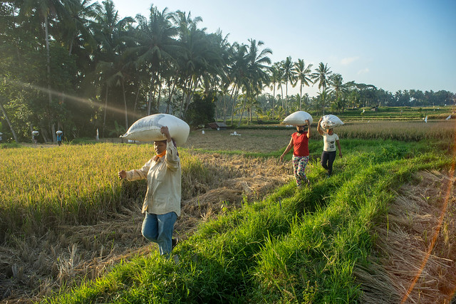 carrying the rice harvest