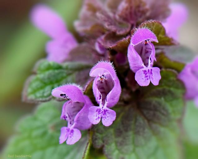 Red Deadnettle - Lamium purpureum   -  Lamiaceae: Mint family