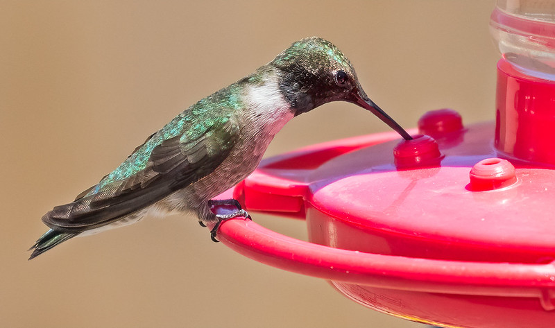 Broad-tailed-Hummer-4-7D2-042420