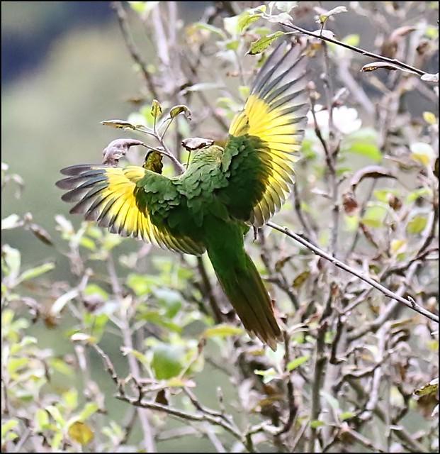 Sulphur-Winged Parakeet in flight