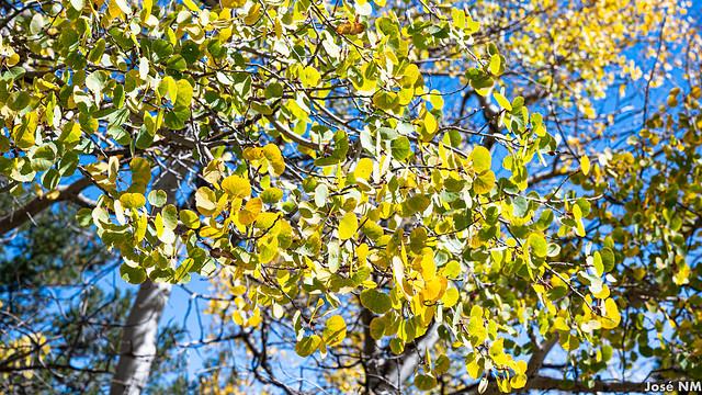 Sandia Yellow Leaves
